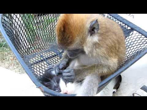 monkey grooming a kitten