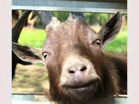 Happy birthday goat - photo#48