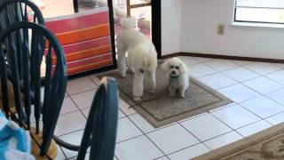 Part 1 ** Standard Poodle Puppy Walking A 10 Year Old Adorable Toy Poodle