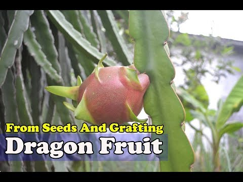 Growing Dragon Fruit From Seeds and Grafting