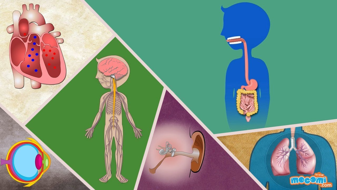 Human Body Parts And Functions Human Body Systems For Kids
