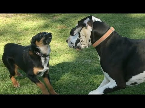 Two Great Danes Chase a Cattle Dog