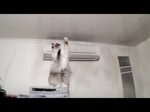 Ragdoll Cat Swims In Air To Catch A Moth - PoathTV Funny Cat Video - PoathCats