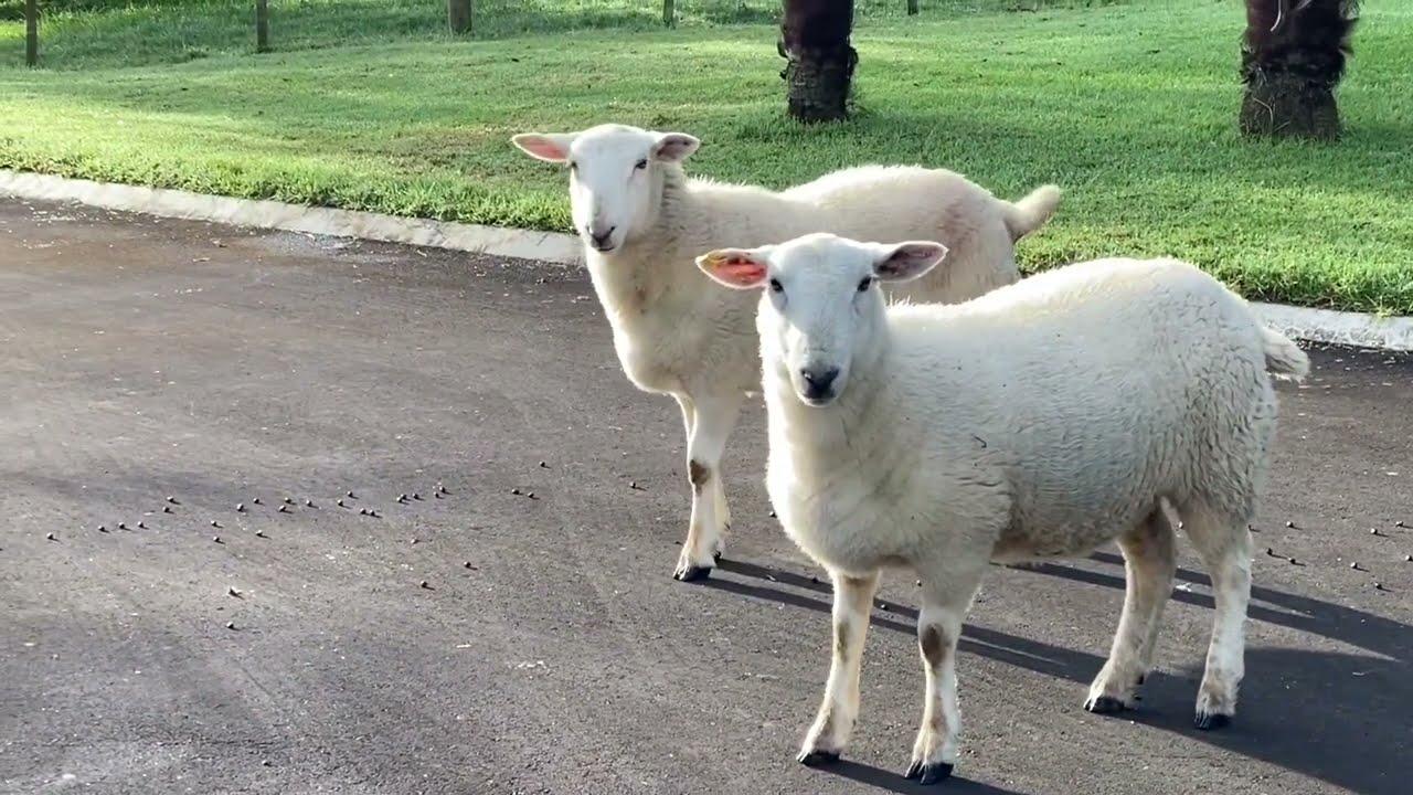 小羊长大了(二十二):来串门的小弟弟;独立了的妹妹和三儿;母鸡谜案;渴望外面的米花 (字幕)(20210612第618期)