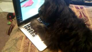 Baxter, My Maltese/mini Schnauzer, Loves Youtube
