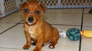 Min Pin, Puppies For Sale, In, San Antonio, Texas, Tx, Pasadena, Brownsville, Grand Prairie, Laredo