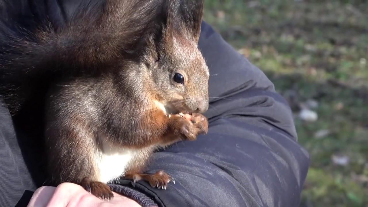 vörös mókus paraziták)
