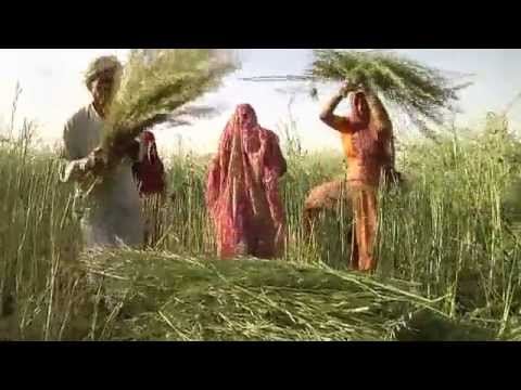 Mustard Power in India | Global 3000