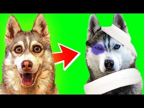 ПАПА БАНДИТ ОПЯТЬ ПОДРАЛСЯ!! (Хаски Бублик) Говорящая собака Mister Booble