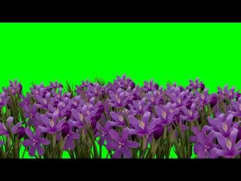 Magnolia Flower / Flowers Animation Green Screen Video thumbnail