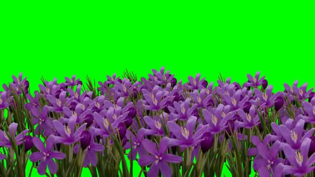 Magnolia Flower Flowers Animation Green Screen Video Youtube