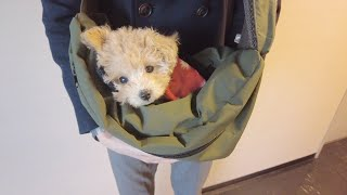 A toy poodle puppy makes her debut to walk outside in a pet sling!