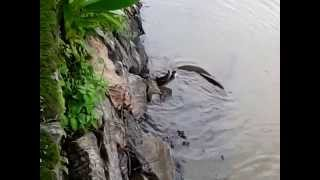 King Cobra Snake Attack And Mating In Rivers 2015