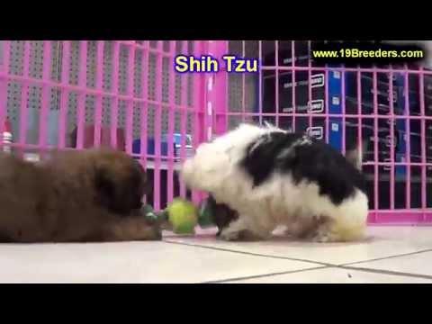 shih-tzu,-puppies-for-sale,-in,-kent,-washington,-wa,-bainbridge-island,-mercer-island,-maple-valley