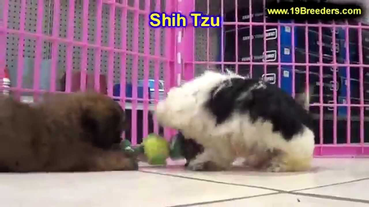 Shih Tzu Puppies For Sale In Kent Washington Wa Bainbridge