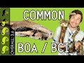 Common Boa (BCI), The Best Pet Snake?