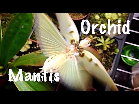 Orchid Mantis Flapping Wings Hymenopus Coronatus Youtube