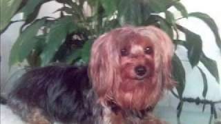 Yorkshire Terrier, My Yorkie Dog  Beauty