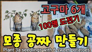 (페트병홈가든)고구마모종 사지마세요! 한겨울 고구마 6…