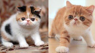 Exotic Shorthair Cat Price | Exotic Shorthair Cat Breed Information | Exotic Shorthair Kittens