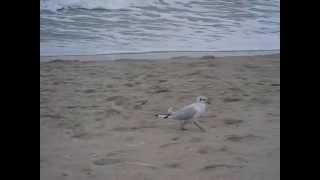 Чайки гуляють по берегу моря (Затока, ст. Сонячна)(, 2015-08-26T09:49:42.000Z)