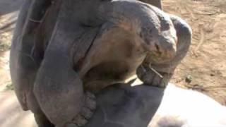 Galapagos tortoise grunting noises of joy