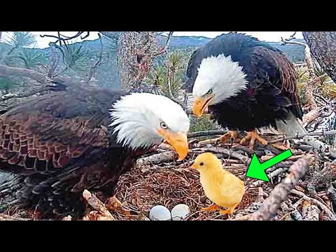farmer put a chicken egg into an eagle nest. This is how things turned out for the chick.Viral video