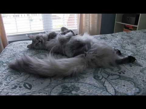 ENORMOUS Maine Coon Cat Sean Coonery Talking