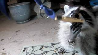 A New CDS - A Baby Raccoons Tale of Crackers