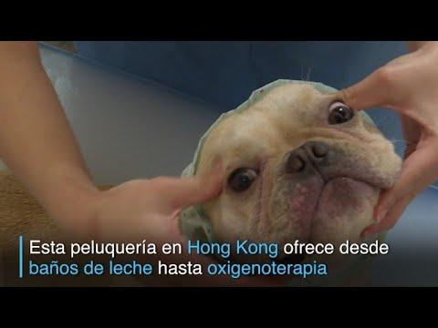 Baño de leche y manicura para mascotas en el año del perro