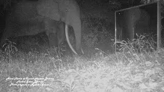 a one-eyed elephant mows tall grass in front of the mirror for better camera trap field of view