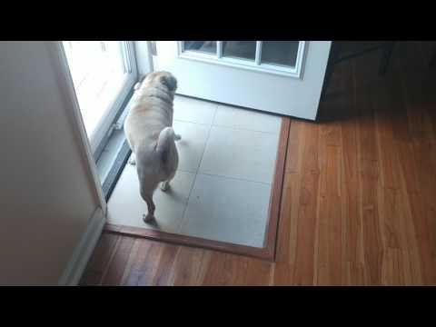 Pug Puppies in North Carolina - South Carolina | Carolina Pugs
