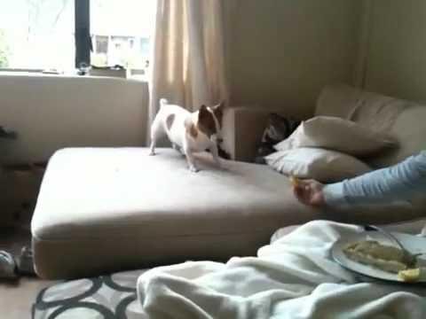 Un chien goûte un citron et devient fou