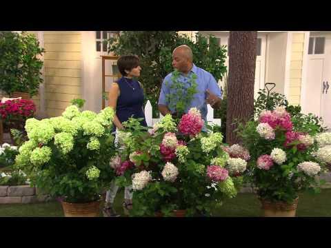 Cottage farms vanilla strawberry hydrangea with dan hughes youtube