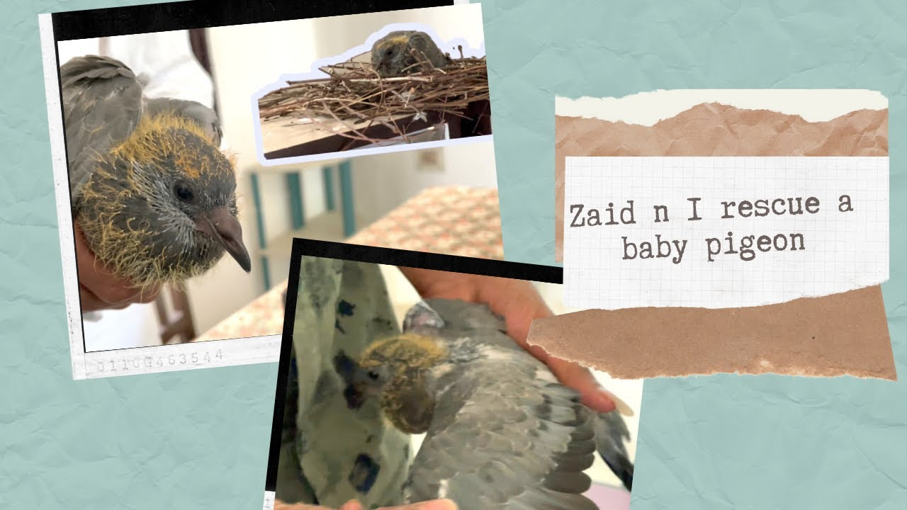 Zaid n I rescue a baby pigeon