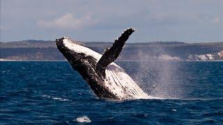 Maui Humpback Whales Breaching
