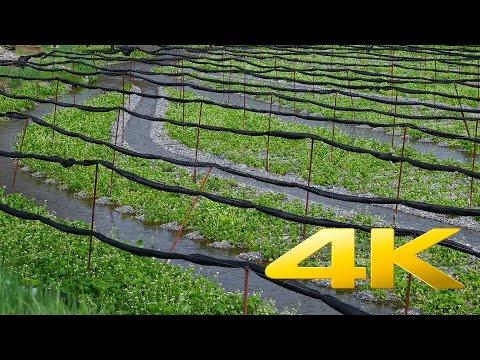 Daio Wasabi Farm - Nagano - 大王わさび農場 - 4K Ultra HD