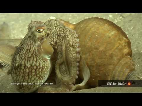 Octopus VS Starfish, And Huge Hippos At Sunset