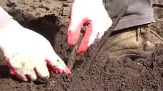 Весной открываем и проверяем прививки винограда, Хисамутдинов АФ