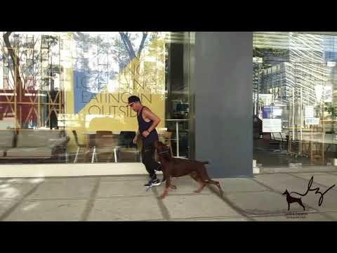 Jogging with my Doberman I'nca