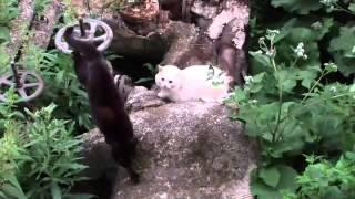 Смешные кошки: никогда не поворачивайся к врагу спиной