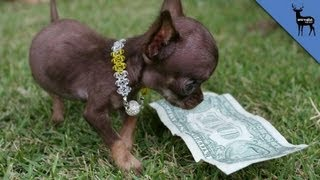 The World's NEW Smallest Dog!