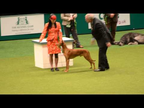 """The """"best in breed"""" Pharaoh Hound @ Crufts 2014 [07-03-2014]"""