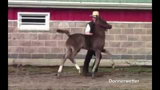 Donnerwetter DHH Stallion