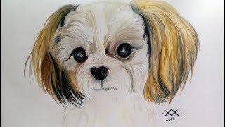 Time lapse drawing: Shih tzu portrait