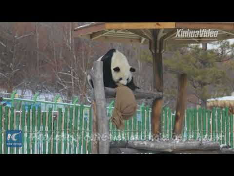 Adorable! Giant pandas play in this season's first snow in northeast China