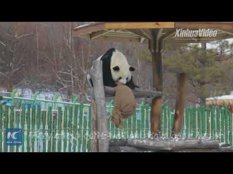 Adorable! Giant pandas play in this season