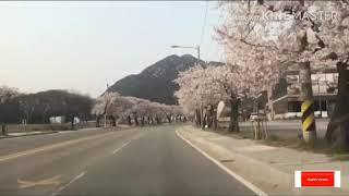 동학사 벚꽃  happysunny