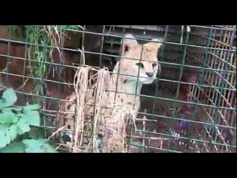Дикий бенгальский кот сбежал из вольера в Череповце