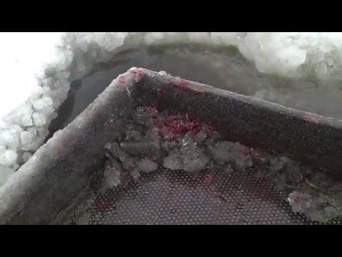 Лягушки - поедание мотыля - YouTube